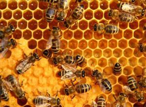 HoneyBees[1]